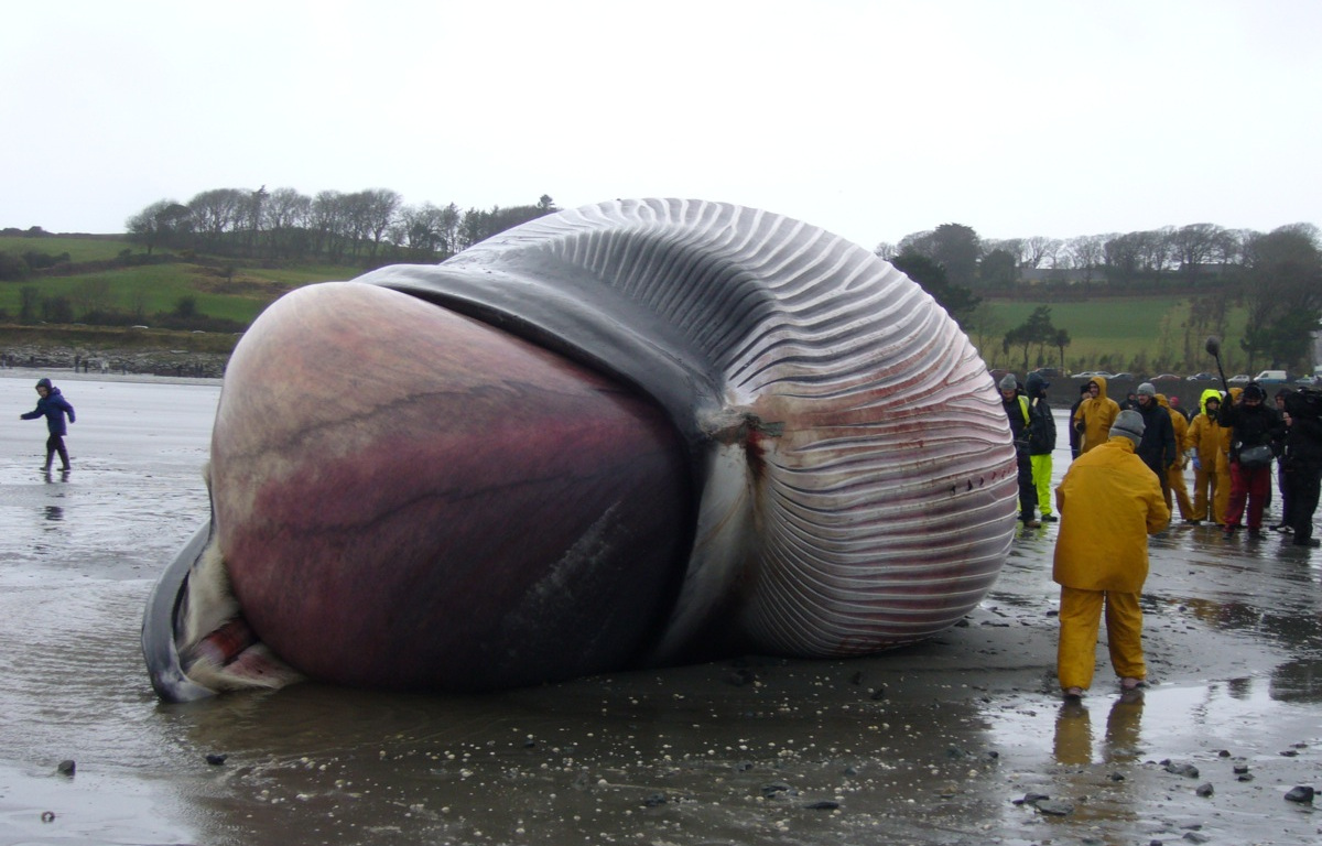 the-heart-of-a-blue-whale