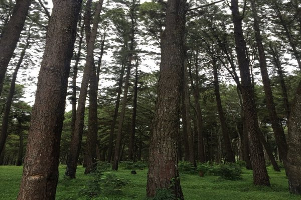 Ngwo-Pine-Forest