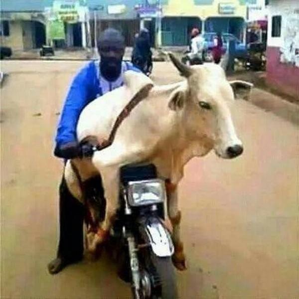 okada-carrying-a-cow